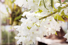 Beautiful blooming white orchid flowers in hothouse Stock Photography