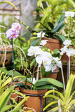 Beautiful blooming white orchid flowers in hothouse Royalty Free Stock Image