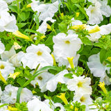 Beautiful blooming white petunia flowers background, Stock Photo