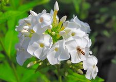 Beautiful blooming white Phlox and flower fly Stock Image