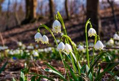 Beautiful blooming of White spring Snowflake. Flowers in springtime. Snowflake also called Summer Snowflake or Loddon Lily or Leucojum vernum on a beautiful Stock Photos