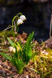 Beautiful blooming of White spring Snowflake. Flowers in springtime. Snowflake also called Summer Snowflake or Loddon Lily or Leucojum vernum on a beautiful Stock Photography