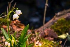 Beautiful blooming of White spring Snowflake Royalty Free Stock Photos