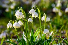 Beautiful blooming of White spring Snowflake. Flowers in springtime. Snowflake also called Summer Snowflake or Loddon Lily or Leucojum vernum on a beautiful Stock Image