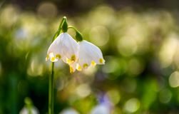 Beautiful blooming of White spring Snowflake. Flowers in springtime. Snowflake also called Summer Snowflake or Loddon Lily or Leucojum vernum on a blurry royalty free stock photography
