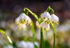 Beautiful blooming of White spring Snowflake. Flowers in springtime. Snowflake also called Summer Snowflake or Loddon Lily or Leucojum vernum on a blurry Royalty Free Stock Photos