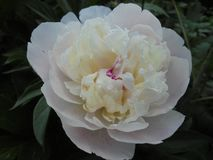 White flower with pink peony petals royalty free stock image
