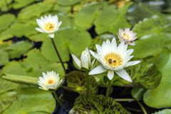 Beautiful blooming white water lily royalty free stock images