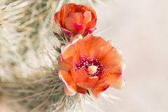 Beautiful blooming wild desert  cactus flowers. Stock Photos
