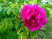 Dog-rose, briar, brier, canker-rose, eglantine. rose flowers. rose flowers photographed in the mountains stock photography