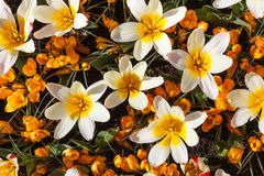 Blooming yellow crocus and white tulips flowers, crocus sativus and tulipa gesneriana Royalty Free Stock Photography