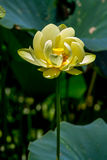 A Beautiful Blooming Yellow Lotus Water Lily Pad Flower Royalty Free Stock Photography