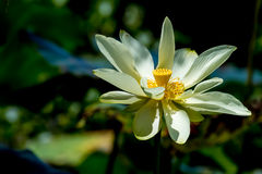 A Beautiful Blooming Yellow Lotus Wildflower Stock Image