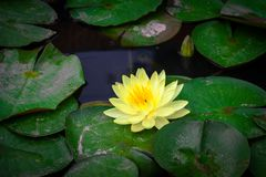 Beautiful blooming yellow lotus with yellow pollen Stock Photography