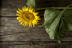 Beautiful blooming yellow sunflower on a rustic  wooden desk Royalty Free Stock Photography