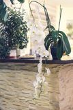 Beautiful bloooming white orchid flowers in home interior. Beautiful bloooming big white orchid flowers in home interior Royalty Free Stock Photo