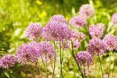 Beautiful blossom of Allium cristophii stock photos