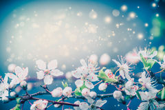 Beautiful blossom background , spring or summer nature floral border at pastel blue sky. With sunny bokeh lighting Royalty Free Stock Photography
