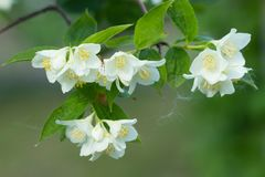 Branch of jasmine Stock Photography