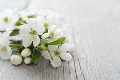 Beautiful blossom branch Stock Image