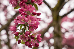 Beautiful Blossom Cluster Royalty Free Stock Images