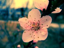 BEAUTIFUL BLOSSOM FLOWERS 002 Royalty Free Stock Photo