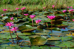 Beautiful blossom lotus flower in Thailand pond Stock Photography