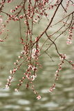 Beautiful blossom peach flowers Stock Image