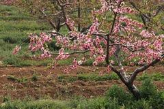 Beautiful blossom peach flowers Royalty Free Stock Image