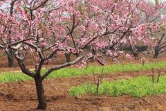 Beautiful blossom peach flowers Royalty Free Stock Photos