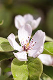Beautiful blossom quince flower Royalty Free Stock Photo