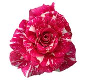 Beautiful blossom red marble shade rose isolated on white royalty free stock photography