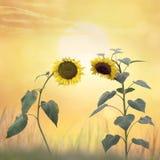 Beautiful blossom of sunflowers Stock Image