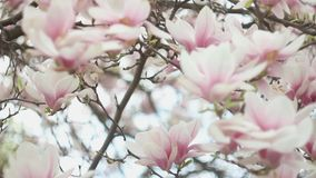 Beautiful blossom tree of magnolia with pink flowers in the park in spring season. Beautiful blossom tree of magnolia with pink flowers in the park in spring stock footage