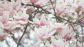 Beautiful blossom tree of magnolia with pink flowers in the park in spring season. Beautiful blossom tree of magnolia with pink flowers in the park in spring stock video footage