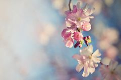 Beautiful blossom tree. Nature scene with sun on Sunny day. Spring flowers. Abstract blurred background in Springtime. Stock Photo