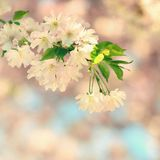 Beautiful blossom tree. Nature scene with sun on Sunny day. Spring flowers. Abstract blurred background in Springtime. Stock Photography