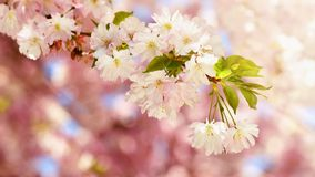 Beautiful blossom tree. Nature scene with sun on Sunny day. Spring flowers. Abstract blurred background in Springtime. Stock Images