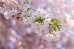 Beautiful blossom tree. Nature scene with sun on Sunny day. Spring flowers. Abstract blurred background in Springtime. Stock Photos