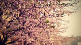 Beautiful blossom tree. Nature scene with sun on Sunny day. Spring flowers. Abstract blurred background in Springtime. Royalty Free Stock Photo