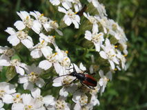 Beautiful blossom white Flower macro with beetle Stock Photography