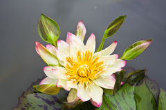 Beautiful blossom white lotus with yellow pollen Stock Photos