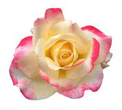 Beautiful blossom yellow pink rose isolated on white royalty free stock images