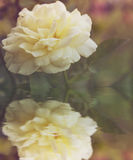 Beautiful blossom yellow rose flower Royalty Free Stock Image