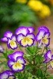 Beautiful blossomed colorful Pansy violet. Five-petal flowers with a diameter of up to 10 cm with an extremely wide range of colors. It is impossible to pass by royalty free stock image
