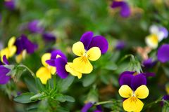 Beautiful blossomed colorful Pansy violet. Five-petal flowers with a diameter of up to 10 cm with an extremely wide range of colors. It is impossible to pass by stock image