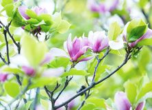Beautiful blossomed magnolia branch in spring, pink Magnolia flower blooming tree. Nature, spring. Background stock photography