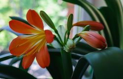 Beautiful blossomed orange flower of Clive on the windowsill royalty free stock photos