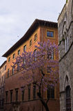 Beautiful blossomed tree in front of music academy in Siena Royalty Free Stock Photo