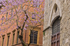 Beautiful blossomed tree in front of music academy in Siena Stock Photography